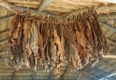 высушенный табак Стоковые Изображения RF
