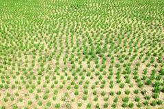 высушенный тип риса земли отверстия поля стоковые изображения rf