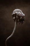 Высушенный умершими спад цветка Стоковое Изображение