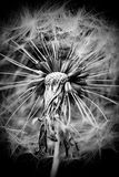 высушенный цветок Одуванчик Макрос стоковые фотографии rf
