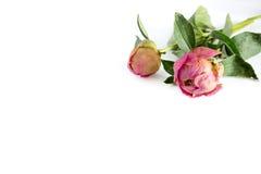 2 высушенный цветок пиона на белой предпосылке Стоковая Фотография