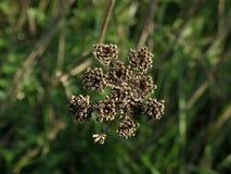 высушенный цветок Стоковое Изображение RF