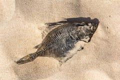 Высушенный flounder лежит в песке на побережье Балтийского моря Стоковое Изображение