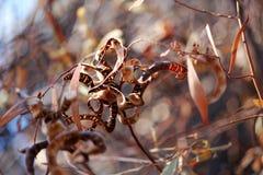 высушенный wattle семян Стоковые Изображения