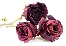3 высушенных красной розы на белой предпосылке Стоковое фото RF