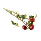 3 высушенных розы над предпосылкой изолированной белизной Стоковые Изображения