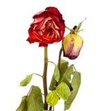 2 высушенных розы Стоковая Фотография