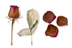 Высушите белизну розовую и листом изолированную стоковое фото