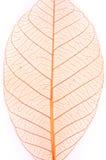 высушите изолированные листья Стоковые Фотографии RF