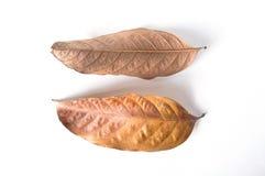 Высушите листья на белой предпосылке Стоковая Фотография RF