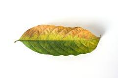 Высушите листья на белой предпосылке Стоковое фото RF