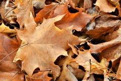 Высушите листья Стоковая Фотография