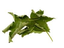 высушите клен листьев некоторые стоковые изображения rf