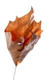 высушите клен листьев Стоковые Изображения RF