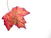 Высушите кленовый лист падения изолированный на белизне Стоковое Фото