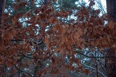Высушите листья вися на дереве в лесе зимы стоковая фотография