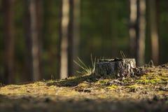 Высушите пень в лесе стоковое фото