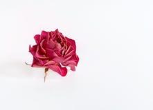 Высушите розовую на белой предпосылке Стоковое Изображение