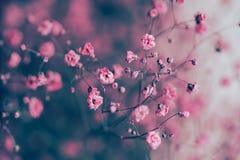 Высушите розовую предпосылку цветков дыхания ` s младенца Стоковая Фотография RF
