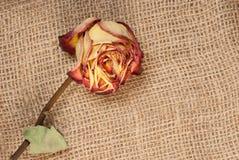 высушите розовую Стоковое Изображение