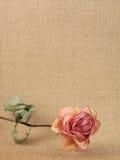 высушите розовую Стоковое фото RF