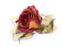 высушите розовую Стоковое Изображение RF