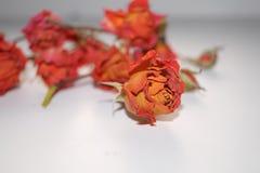 высушите розовую Стоковое Фото