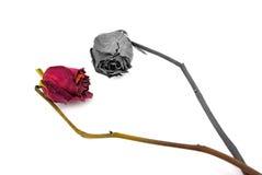 высушите розовую Стоковые Фотографии RF