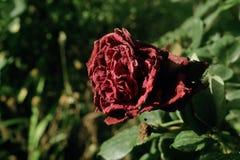 Высушите розовый его мой сад стоковая фотография