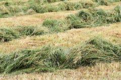 Высушите скошенное сено Стоковая Фотография RF
