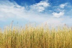 высушите тростники стоковое изображение rf