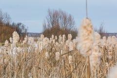 высушите тростники Стоковая Фотография
