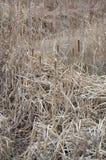 высушите тростники стоковые фотографии rf