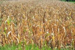 Высушите фермы мозоли в сезоне лета после сбора Стоковое фото RF