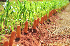 Высушите фермы мозоли в сезоне лета после сбора Стоковые Фотографии RF