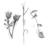 Высушите чертеж листьев и цветков нарисованный рукой Стоковые Изображения