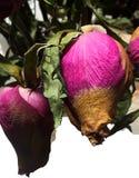 2 высушили неоткрытое коричневое и розовый поднял с зелеными листьями против белой предпосылки стоковая фотография rf
