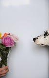 Выследите Далматина и букета роз в стеклянной вазе Белая предпосылка, открытый космос для дизайна Стоковое Изображение