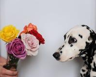 Выследите Далматина и букета роз в стеклянной вазе Белая предпосылка, открытый космос для дизайна Стоковые Изображения RF
