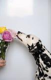Выследите Далматина и букета роз в стеклянной вазе Белая предпосылка, открытый космос для дизайна Стоковая Фотография RF