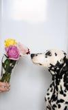 Выследите Далматина и букета роз в стеклянной вазе Белая предпосылка, открытый космос для дизайна Стоковое Изображение RF