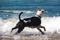 Собака в воде Стоковое Изображение RF