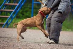 Выследите конкуренцию, тренировку полицейской собаки, собак резвитесь Стоковое фото RF