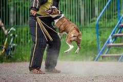 Выследите конкуренцию, тренировку полицейской собаки, собак резвитесь Стоковая Фотография RF