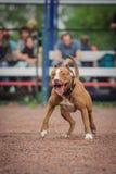 Выследите конкуренцию, тренировку полицейской собаки, собак резвитесь Стоковая Фотография
