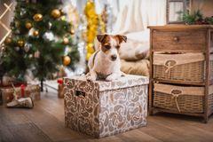 Выследите рождество, Новый Год, терьера Джека Рассела Стоковое фото RF