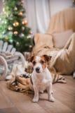 Выследите рождество, Новый Год, терьера Джека Рассела Стоковая Фотография