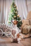 Выследите рождество, Новый Год, терьера Джека Рассела Стоковые Изображения