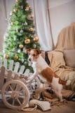 Выследите рождество, Новый Год, терьера Джека Рассела Стоковые Фотографии RF