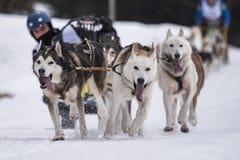 выследите село таблицы скелетона Польши pasterka musher гор собак малое стоковая фотография rf